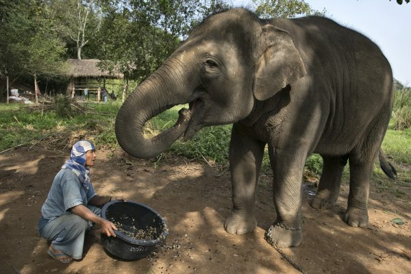 GOLDEN TRIANGLE, THAILAND – DECEMBER 10:  Lun, a Thai mahout serves a coffee bean mixture to an elephant at an elephant camp at the Anantara Golden Triangle resort December 10, 2012 in Golden Triangle, northern Thailand.The coffee is made from Thai arabica handpicked beans, taking 15-30 hours for the elephant to digest the beans, then they are plucked later from their dung and washed and roasted. At $1,100 per kilogram or $500 per pound, the cost per cup equals $50, this makes the exotic new brew the worldÕs priciest. It takes 33 kilograms of raw coffee cherries to produce 1 kilo of Black Ivory coffee. Photo by Paula Bronstein/Getty Images)