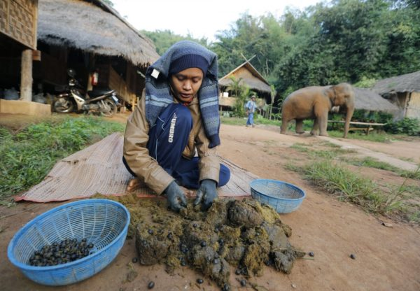 epa03499613 A Thai mahout picks coffee beans out of elephant dung as part of the process to make Black Ivory Coffee, a coffee brewed from beans that have been through an elephant's intestinal system, at an elephant camp in Chiang Rai province, northern of Thailand, 07 December 2012. The coffee is made with Thai Arabica coffee beans that are eaten by elephants and after that processed into coffee. The coffee is about to be launched on international markets. The project employs elephant mahouts and their wives in northern Thailand who hand pick the coffee beans out of the elephant dung for sun drying and processing. Research suggests the digestive treatment breaks down the coffee protein reducing its bitterness. About 10,000 beans are picked to produce about one kg of roasted coffee. It costs about 10 us dollars per cup, or about 1100 US dollar per kg, making it one of the most expensive coffees in the world. High-priced coffee produced in a similar way through civet cats is already on the market.  EPA/NARONG SANGNAK